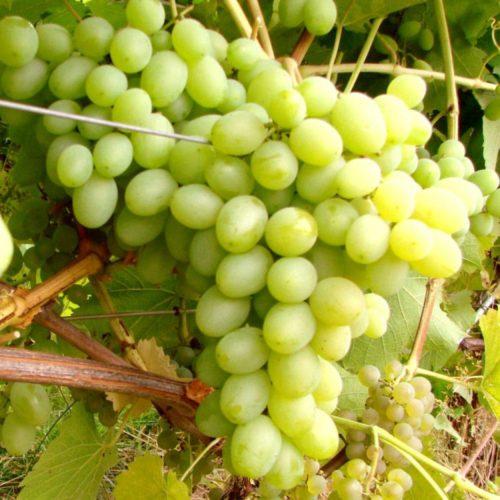 Аромат: «Виноград белый»